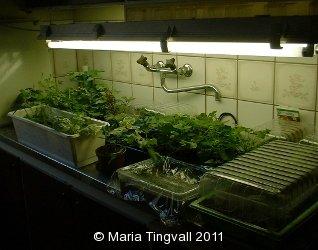 Odling i köket på övervåningen