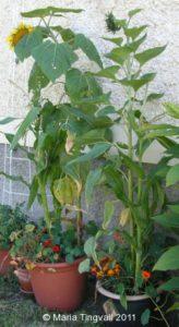 Kruka med huvudsakligen amerikanska växter.