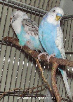 Elvisa och Izor