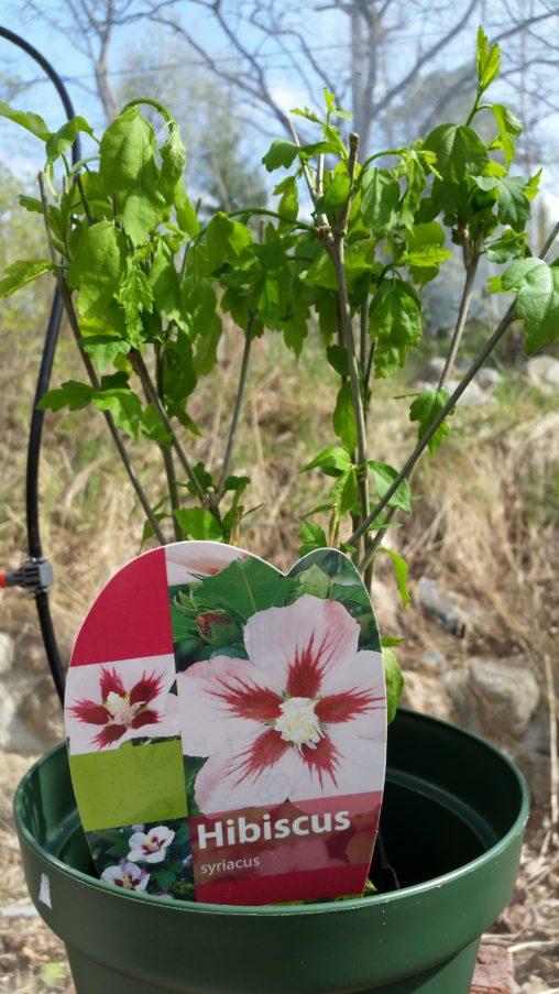 Rosa hibiskus köpt på Lidl