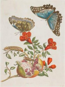 By Maria Sibylla Merian (1647-1717) - http://www.artsconnected.org/resource/60662/blue-butterflies-and-pomegranate, Public Domain, https://commons.wikimedia.org/w/index.php?curid=16543450