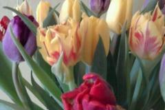 Tulpaner i olika färger