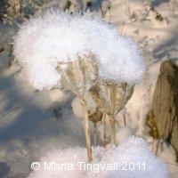 Krollilja i snö