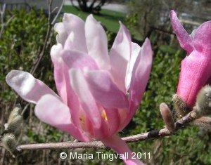 Magnolia. Min magnolia i blom.