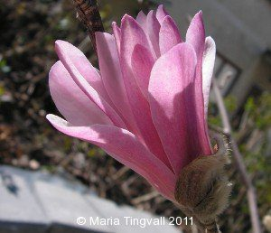 Magnoliaknopp på väg att spricka ut.